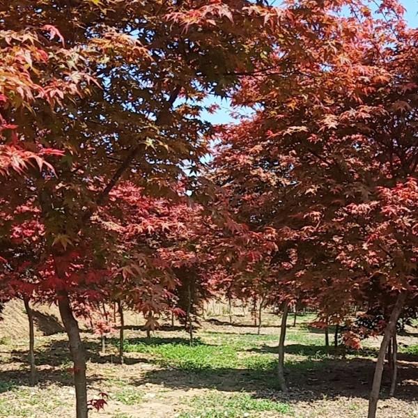 4公分日本红枫价格 江苏日本红枫基地批发价格