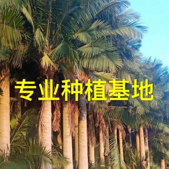福建热带植物国王椰子 国王椰子价格 国王椰子批发基地直销