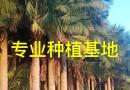 福建蒲葵高40公分