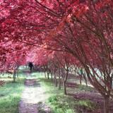 日本红枫红舞姬价格 10公分日本红枫批发