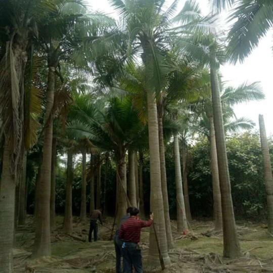 福建国王椰子价格 国王椰子基地直销