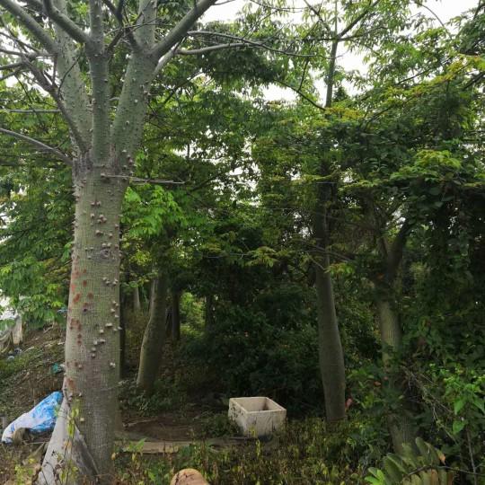 高5米木棉树价格 广东木棉树基地批发