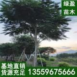 红花凤凰木移植 地苗 10公分-40公分