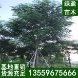 28公分凤凰木多少钱一棵 四川凤凰木基地批发