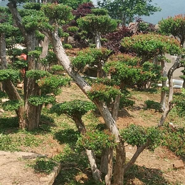 地景三叶轮生红芽 三叶轮生红芽赤楠盆景