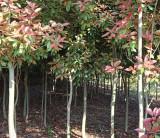高杆红叶石楠树基地 高杆红叶石楠树批发报价