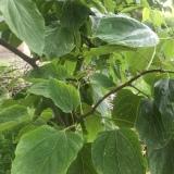 成年拐枣树