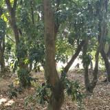 广东荔枝树价格 荔枝树批发销售
