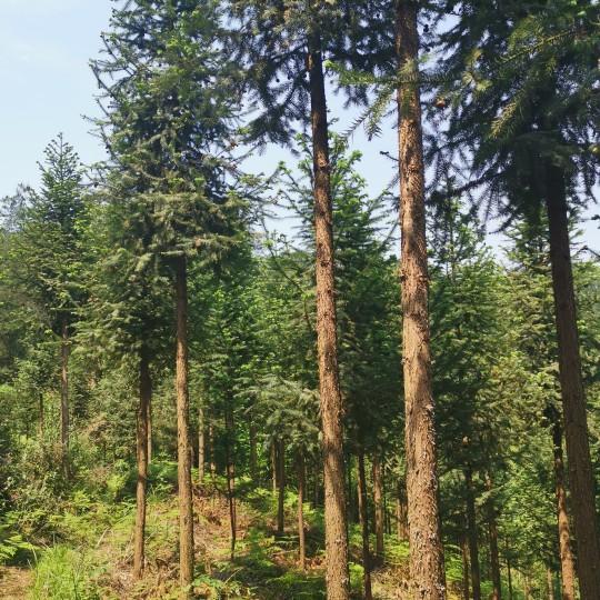 7公分杉树价格 重庆杉树批发