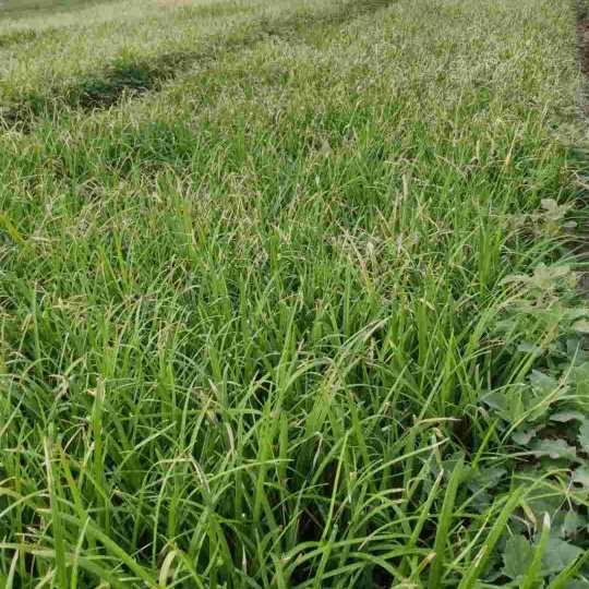 麦冬草哪里有卖?麦冬草基地批发