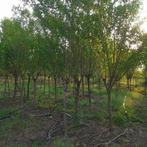 江苏桃树苗基地 6公分8公分10公分桃树批发价格
