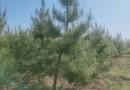 1.5米油松苗山东苗木基地大量供应