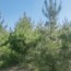 山东3.5米油松大量供应  一手货源
