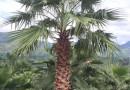 杆高6米华棕价格 6米华盛顿棕榈价格 6米华棕基地批发