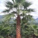 高3米3.5米老人葵价格 4米-5米老人葵批发