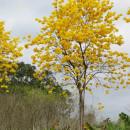 黄花风铃木树批发 8-10分黄花风铃木价格