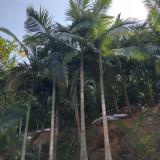 假槟榔树哪里有卖 3米-6米高假槟榔树批发