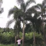 狐尾椰子树多少钱一棵 福建狐尾椰子树价格