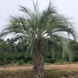 布迪椰子树多少钱一棵 布迪椰子树价格
