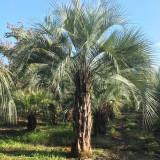 福建布迪椰子价格 批发布迪椰子树供应商