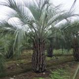 布迪椰子袋苗报价 一米高布迪椰子价格