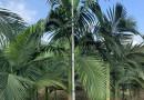 假槟榔树多少钱一棵 1米-10米高假槟榔树价格