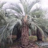 哪里卖布迪椰子树 漳州布迪椰子树生产基地