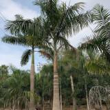 大王椰子树多少钱一颗 1米2米3米大王椰子树价格
