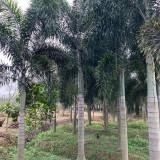 漳州狐尾椰子苗基地 福建漳州批发狐尾椰子树