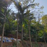 假槟榔树多少钱一株 福建假槟榔树基地批发价格