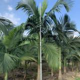4米假槟榔树价格 福建假槟榔树基地批发