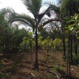 福建假槟榔树基地批发 造型假槟榔树出售
