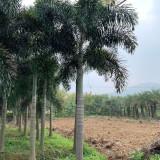 狐尾椰子市场价格 1米2米3米狐尾椰子树价格