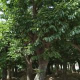 80公分柿子树