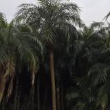 美丽针葵多少钱一棵 福建漳州针葵树出售