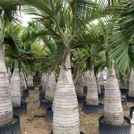 酒瓶椰子树哪里有卖 福建酒瓶椰子树种植基地