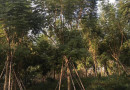 蓝花楹树价格 15公分16公分18公分蓝花楹价格