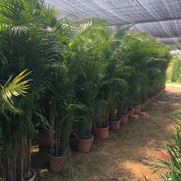 福建散尾葵基地批发 3-6米散尾葵批发价格