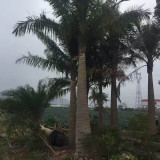 国王椰子树批发 2米-5米国王椰子树苗价格