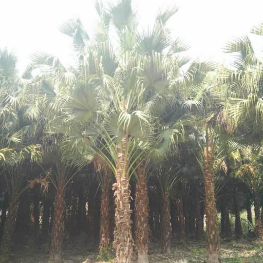 蒲葵树多少钱一颗 1米2米3米蒲葵树价格