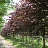 供应紫叶加拿大紫荆红叶加拿大紫荆'森林三色堇'