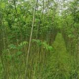 2公分合欢树苗价格 江西大叶合欢基地树批发