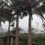 福建国王椰子基地 5米-6米国王椰子价格