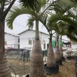杆高2米酒瓶椰子树价格 酒瓶椰子多少钱一棵?