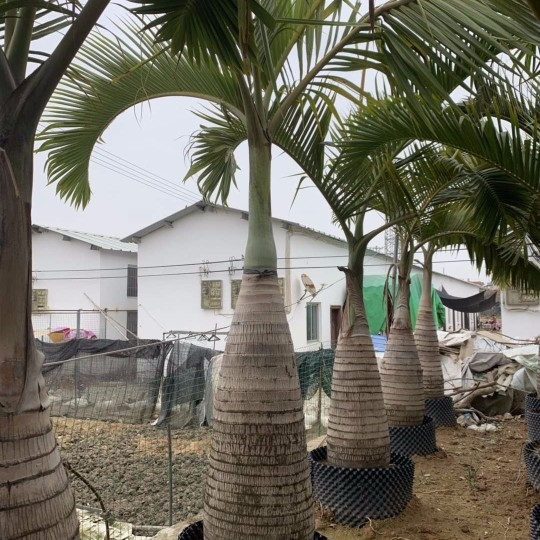 酒瓶椰子树苗价格 1米酒瓶椰子小苗出售