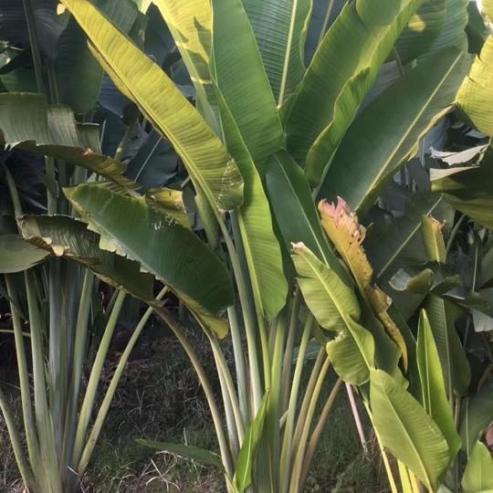 旅人蕉盆栽价格 福建旅人蕉基地批发