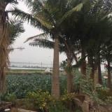 国王椰子树价格 福建国王椰子基地批发报价