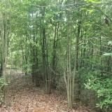 6公分7公分8公分丛生木荷价格 木荷多少钱一棵