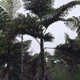董棕树价格 福建3米-5米董棕树批发报价