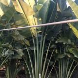 旅人蕉价格 3米4米旅人蕉基地批发